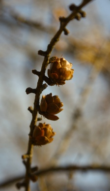 larch cones by Ann E. Michael