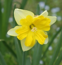 daffodil photo Ann E. Michael