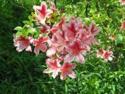 azaleas by Ann E. Michael