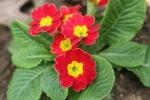 primrose by Ann E. Michael