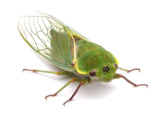 cicada-sam