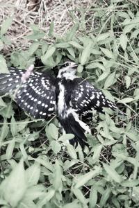 stunned (downy woodpecker)