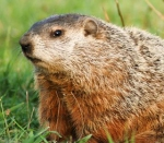groundhog-day-groundhog
