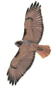redtail