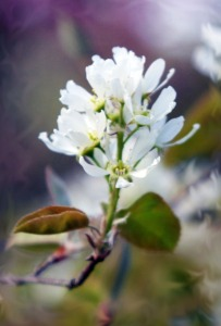 Shadblow, also known as serviceberry.