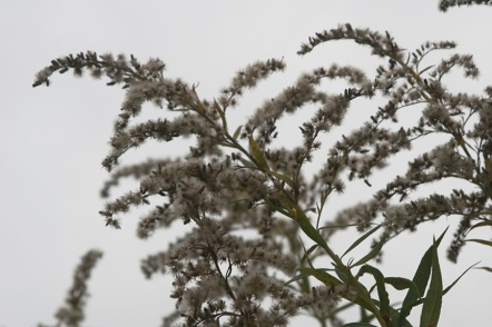 goldenrod (solidago) going to seed