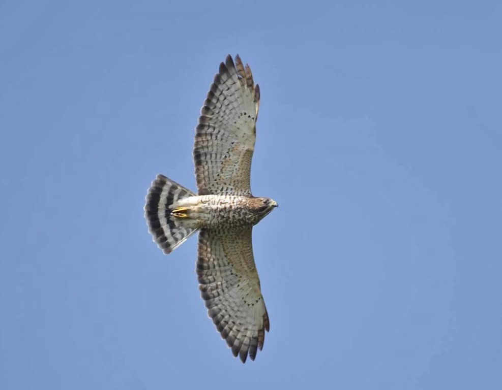 Broad-winged Hawk Flying