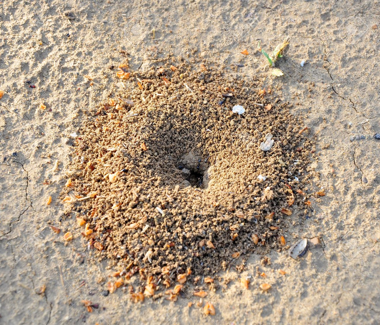 17435196-Sand-anthill-of-excavation-black-ants-Lazius-Stock-Photo.jpg