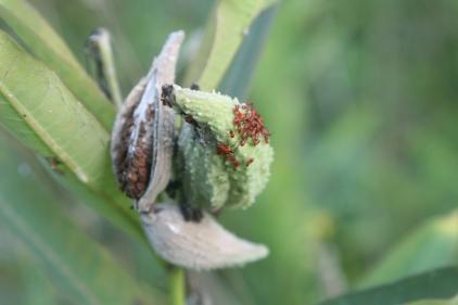 Baby box elder beetles?