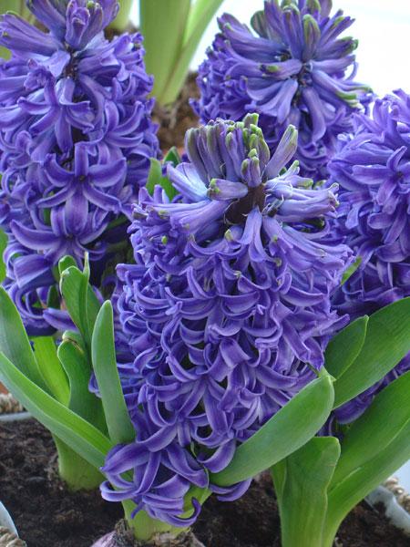 hyacinth burpee