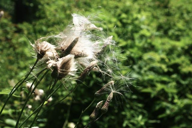 seedfluff