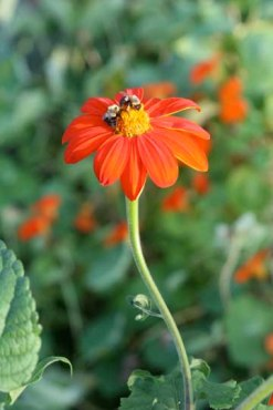 mexican sunflower, bee by Ann E Michael