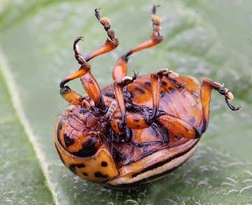 20775536-dead-colorado-potato-beetle-belly-up