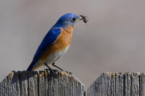 Eastern Bluebird-4299_Laurie Lawler_Texas_2013_GBBC_KK