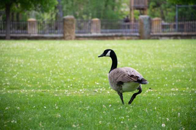 canadian goose on grass field