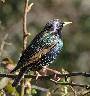 Colourful_starling.jpeg